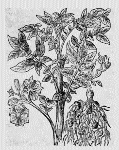 John Gerard, from the frontispiece to the first edition of his Herbal (1597, but here dated 1598), with a potato spray in his left hand.