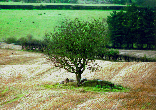 The thornbush at Leacht Abhartach (Abhartach's sepulchre) from which the townland of Slaughtaverty, County Derry, takes its name. (Paul Nash)