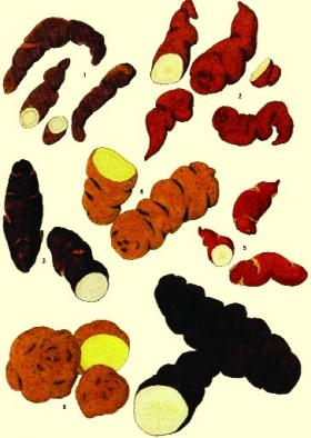 Various species of Solanum tuberosum that originally grew wild in Central and South America. (Franz Frey)