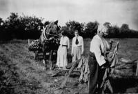Tobacco-harvesting in Stackallen, Co. Meath, in the 1930s. (Meath County Library)